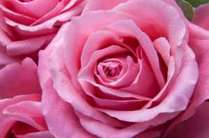 roses-pink-family-rose-family-65619.jpeg